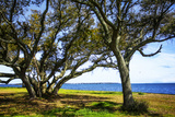 Live Oaks by the Bay I Photographic Print by Alan Hausenflock
