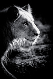 Male Lion III Photographic Print by Beth Wold