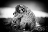 Lion Cub Photographic Print by Beth Wold