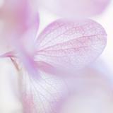 Pink Hydrangea I Photographic Print by Kathy Mahan