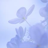Hydrangea Blossom II Photographic Print by Kathy Mahan