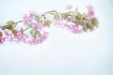 Sakura Pastel Photographic Print by Roberta Murray