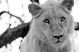 Male Lion Photographic Print by Beth Wold