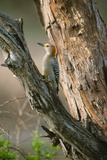 Ladder Back Woodpecker Photographic Print by Ike Leahy