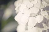 White Hydrangea Photographic Print by Roberta Murray