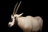 An Arabian Oryx, Oryx Leucoryx. Photographic Print by Joel Sartore