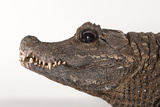 A Close Up of the Head of a Female West African Dwarf Crocodile, Osteolaemus Tetraspis. Photographic Print by Joel Sartore