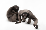 A Pair of Endangered Muller's Grey Gibbons, Hylobates Muelleri, at the Miller Park Zoo. Photographic Print by Joel Sartore