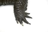 A Vulnerable Mugger Crocodile, Crocodylus Palustris. Photographic Print by Joel Sartore