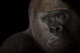 A Critically Endangered Male Western Lowland Gorilla, Gorilla Gorilla. Photographic Print by Joel Sartore