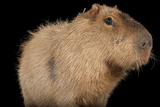 A Capybara, Hydrochoerus Hydrochaeris, at the Rolling Hills Zoo. Photographic Print by Joel Sartore