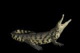 A Nile Crocodile, Crocodylus Niloticus, at the Saint Augustine Alligator Farm. Photographic Print by Joel Sartore