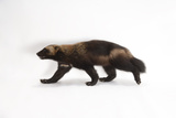 A Portrait of a Wolverine, Gulo Gulo. Photographic Print by Joel Sartore