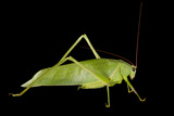 Studio Portrait of a Grasshopper. Photographic Print by Joel Sartore