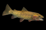 A Cutthroat Trout, Oncorhynchus Clarkii, at the Loveland Living Planet Aquarium. Photographic Print by Joel Sartore