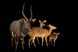 Nyala, Tragelaphus Angasii, at the Houston Zoo. Fotografisk tryk af Joel Sartore