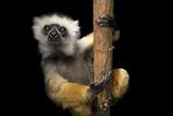 A Critically Endangered Diademed Sifaka, Propithecus Diadema, at Lemur Island. Fotografisk tryk af Joel Sartore