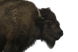 An American Bison, Bison Bison, at Buffalo Zoo. Photographic Print by Joel Sartore