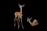 A Juvenile Gerenuk, Litocranius Walleri, at the White Oak Conservation Center. Photographic Print by Joel Sartore