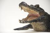 A Jacare Caiman, Caiman Yacare, at the Saint Augustine Alligator Farm. Photographic Print by Joel Sartore