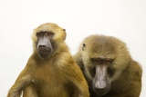 A Pair of Guinea Baboons, Papio Papio, at the Indianapolis Zoo. Photographic Print by Joel Sartore