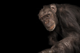 An Endangered Chimpanzee, Pan Troglodytes, at Rolling Hills Zoo. Photographic Print by Joel Sartore