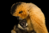 A Critically Endangered Female Northern White Cheecked Gibbon with Her Year Old Baby. Photographic Print by Joel Sartore