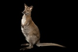 A Red-Necked Wallaby, Macropus Rufogriseus, at Lincoln Childern's Zoo. Photographic Print by Joel Sartore