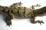 A Critically Endangered Philippine Crocodile, Crocodylus Mindorensis. Photographic Print by Joel Sartore