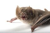 A Common Vampire Bat, Desmodus Rotundus, at Buffalo Zoo. Photographic Print by Joel Sartore