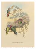 Bruijns Pygmy Parrots (Nasiterna Bruijnii, Salvad) Stampe di John Gould