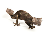 A Satanic Leaf-Tailed Gecko, Uroplatus Phantasticus, at Houston Zoo. Photographic Print by Joel Sartore