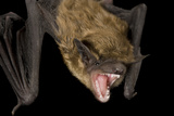 A Big Brown Bat, Eptesicus Fuscus. Photographic Print by Joel Sartore