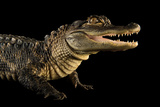 An American Alligator, Alligator Mississippiensis, at the Lincoln Children's Zoo. Photographic Print by Joel Sartore