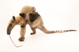 A Two Year Old Male Northern Tamandua, Tamandua Mexicana, at Summit Municipal Park. Photographic Print by Joel Sartore