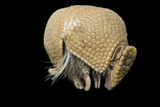 A Southern Three-Banded Armadillo, Tolypeutes Matacus, at Lincoln Children's Zoo. Photographic Print by Joel Sartore