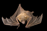 A Lesser Short-Nosed Fruit Bat, Cynopterus Brachyotis, at the Lubee Bat Conservancy. Photographic Print by Joel Sartore