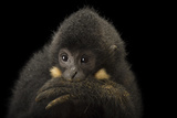 A Male Northern Buffed Cheeked Gibbon, Nomascus Annamensis. Photographic Print by Joel Sartore