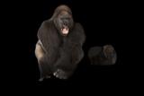 Western Lowland Gorillas, Gorilla Gorilla, at the Gladys Porter Zoo. Photographic Print by Joel Sartore