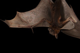 A Little Red Flying Fox, Pteropus Scapulatus. Photographic Print by Joel Sartore