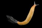 A Studio Portrait of a Wild Slug. Photographic Print by Joel Sartore