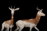 A Critically Endangered Male and Female Dama Gazelle, Nanger Dama Ruficollis. Photographic Print by Joel Sartore