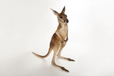 A Young Red Kangaroo, Macropus Rufus, at Rolling Hills Wildlife Adventure. Photographic Print by Joel Sartore