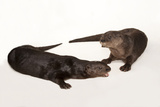 Spotted-Necked Otters, Hydrictis Maculicollis, at the Omaha Henry Doorly Zoo. Photographic Print by Joel Sartore