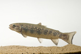A Coaster Brook Trout Fish, Salvelinus Fontinalis, at the Genoa National Fish Hatchery. Fotodruck von Joel Sartore
