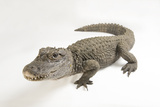 A Critically Endangered Chinese Alligator, Alligator Sinensis. Photographic Print by Joel Sartore