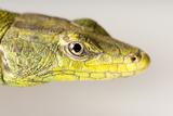 An Emperor Flat Rock Lizard, Platysaurus Imperator, at Safari Land Pet Center. Photographic Print by Joel Sartore