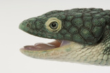 A Mexican Alligator Lizard, Abronia Graminea, at Saint Louis Zoo. Photographic Print by Joel Sartore