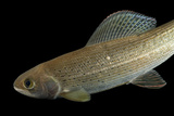 A Grayling, Thymallus Thymallus, at the Loveland Living Planet Aquarium. Photographic Print by Joel Sartore