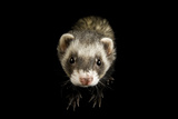 A Ferret, Mustela Furo, at Rolling Hills Wildlife Adventure. Photographic Print by Joel Sartore